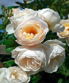 ´Uetersener Klosterrose´ in meinem Garten mit wunderbarem Vanille-Wildrosen-Duft