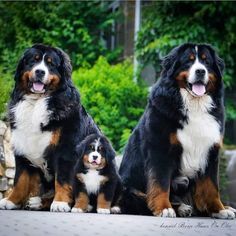 Terrific Images bernese mountain dogs husky Ideas Over years, a Bernese Off-road Puppy is a huge basis involving town life with Switzerland. If herding lambs, prot Bernese Mountain Puppy, Bernese Dog, Mountain Dogs, Love Dogs, Cute Dogs And Puppies, Pet Dogs, Labrador Dogs, Doggies, Labrador Retriever