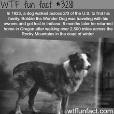 Dog walked across the United States to see his family - WTF fun facts. Bobbie the Wonder Dog.