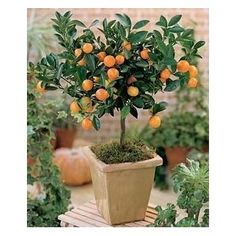 Image result for calamondin
