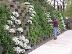 Open-backed blocks in action in a real living wall. As it fills in it should create a full, green screen. From The Living Wall Company's blog.