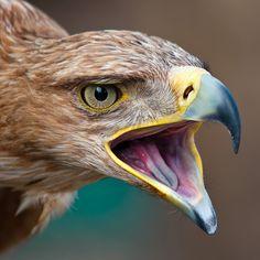 Angry golden eagle by Jonatan Hernández Sánchez