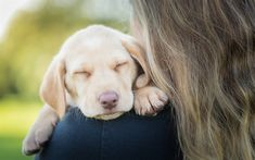 golden retriever, puppy, sleeping labrador, cute dog, pets, cute animals, dogs, labrador