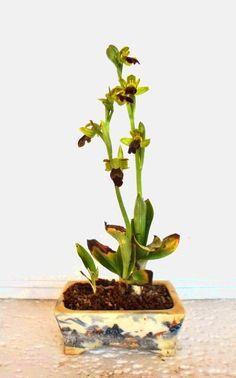 Ophrys fusca - Dark bee orchid kusamono