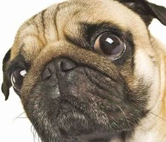 I wonder what this Pug is thinking