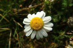 Aromaterapia - Aceites esenciales   Manzanilla romana o europea (Chamaemelum nobile o Anthemis nobilis)