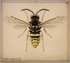 Vespula vulgaris ☿ (common wasp) Vespa is 'wasp' in Italian and Latin.