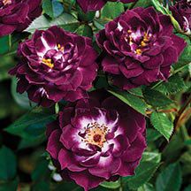 Diamond Eyes - Miniature Rose   Available @ Bluemel's Garden Center 2015 www.bluemels.com