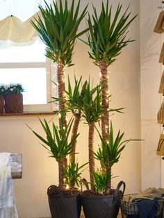 Yucca with fairy lights Yucca Plant Indoor, Indoor Garden, Home And Garden, Balcony Plants, Outdoor Plants, Echeveria Care, Potted Palms, Yucca Tree, Decoration Plante