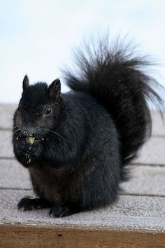 Black squirrel Black Animals, Animals And Pets, Funny Animals, Cute Animals, Wild Animals, Black Squirrel, Cute Squirrel, Squirrels, Black Sheep