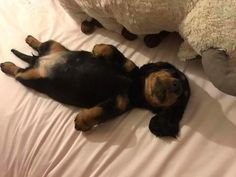 If you love dachshunds, visit our website to find the best products and accessories for hounds and Dachshund Puppies, Weenie Dogs, Cute Puppies, Cute Dogs, Doggies, Dapple Dachshund, Funny Dachshund, Dachshund Love, Daschund