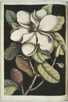 Magnolia altissima, The Laurel-Tree of Carolina. (1754)