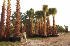 California Palm Trees - California Southern California Palm Trees Drought Tolerant Cali Palms RealPalmTrees.com Buy California Palm Trees #CaliforniaPalms #CaliforniaPalmTrees #BuyCALIPalms   Mexican Fan Palm Huge Palms CA California Palms Florida Palm Trees, California Palm Trees, California Dates, Southern California, Indoor Palms, Cool Landscapes, Drought Tolerant, Great View