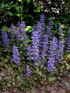 Ajuga-sun, partial shade, shade-perennial-I think it grows anywhere