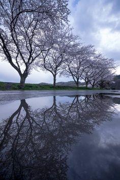Kinchakuda, Saitama, Japan: photo by Kouji Tomihisa 薄滅紫(うすけしむらさき)