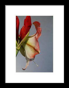 red, amaryllis, flower, nature, bloom, blossom, michiale schneider photography