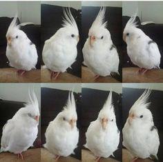 LOST COCKATIEL: 25/08/2016 - Sunnybank Hills, Queensland, QLD, Australia. Ref#: L26090 - #ParrotAlert #LostBird #LostParrot #MissingBird #MissingParrot #LostCockatiel #MissingCockatiel