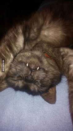 Vampire cat... he will draw blood