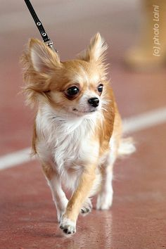 Chihuahua. What a beautiful little one!