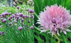 Chives – How to Grow