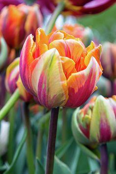 Tulip with multi-hued petals