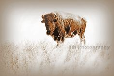 Buffalo  Bison  Brown and White Photo  Buffalo by turquoisemoon, $35.00