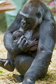 Baby gorilla with mother (by Tambako the Jaguar)