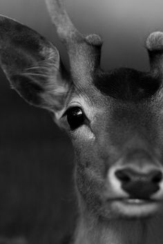doe eyes | deer | black & white | magnificent | antler | mother nature | into the wild | www.republicofyou.com.au