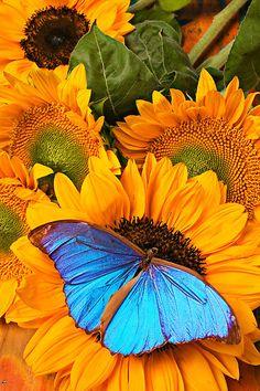 Blue Butterfly On Sunflower by Garry Gay que hermosura felicitaciones al fotografo ¡que imagen ¡