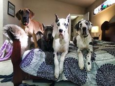 17 Realities That New Great Dane Owners Must Accept - absolutely true for every one! Great Dane Dogs, I Love Dogs, Best Dogs, Huge Dogs, Giant Dogs, Blue Great Danes, Mundo Animal, Cute Creatures, Doge