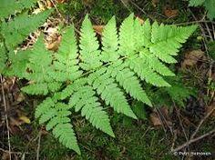 metsäalvejuuri metsän kasvit