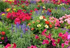 sun perennials that bloom all summer | All About Perennials, Learn About Perennials, Flowers