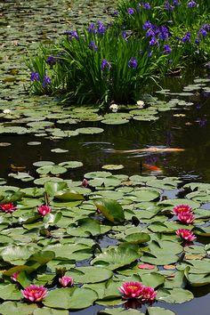 In the garden(Kajuuji-Temple.Kyoto.Japan)*-*. Flpwers Aiyame (Iris) and Renge (Lotus)