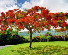 Árbol de la llama - Delonix regia Delonix Regia, Puerto Rico, Fast Growing Trees, Paint And Sip, Flowering Trees, Pictures To Paint, Trees To Plant, Dahlia, Ibiza