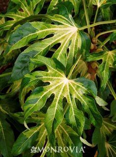 Camouflage™ Variegated Japanese Aralia (Fatsia japonica 'Variegata' Camouflage™)