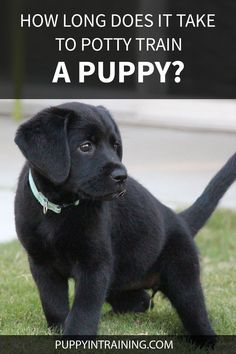 I've had my 8 week old puppy for 4 days now and she's still peeing and pooping in the house!? How long will it take to potty train my puppy? Training A Lab Puppy, Potty Training, Dog Training Treats, Dog Training Videos, Black Lab Puppies, Labrador Puppies, Dog Pee, Funny Animal Jokes, Puppy Care