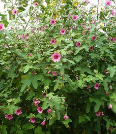 Anisodontea sp. 'Strybing Beauty' -Cape Mallow -Malvaceae