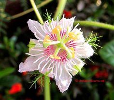 Santo Papa Passionflower (Passiflora foetida)