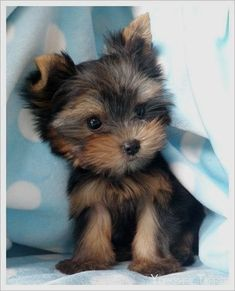 "then get her a sister named Pebbles. PS no such thing as a ""toy"" or ""teacup"" Yorkie. If you have a purebred Yorkie it is tiny like this. May be overweight like my Allie, or it is a mix. Just a pet peeve Animals And Pets, Baby Animals, Funny Animals, Cute Animals, Nature Animals, Cute Puppies, Cute Dogs, Dogs And Puppies, Terrier Puppies"