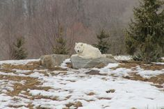 Arctic Wolf-Toronto Zoo  Photo by: Marcy Stickle