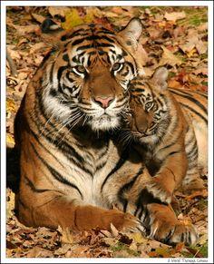 Image detail for -Sumatran Tiger cubs trio second wave - A World Through Lenses