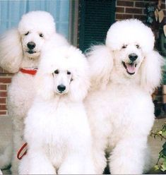 Fluffy white standard poodles.