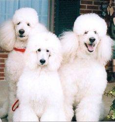 Fluffy white poodles.