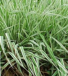 Ribbon Grass - Phalaris. Use ribbon grass in beds, borders or naturalistic woodland gardens.  Also looks nice along a pond. A durable long-lived, fast growing plant, tolerant of a wide range of conditions.