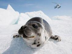 A vida das focas As focas podem até dormir em terra ou dentro da água. Nesse caso, como elas são mamíferos, ficam perto da superfície, de lado e com o nariz para fora para poder respirar.