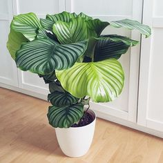 Don't we just love IKEA? I just bought this high beauty for Again, accidentally, with no means of plant hunting . Indoor Tropical Plants, Tropical Landscaping, Exotic Plants, Tropical Garden, Green Plants, Calathea Orbifolia, Belle Plante, House Plants Decor, Plants Are Friends