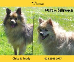 Chico and Teddy are lovable Pomeranians who arrived at Ballymena together. These two are very reliant on each other and would love to find a home together.  They are looking for a home where they can enjoy home comforts, a couple of short walks each day, and a comfy bed to curl up on!  For more information please contact Dogs Trust Ballymena directly!