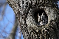 Eastern Screech Owl (Megascops asio) at nest hollow. Photo by Cody Spencer.