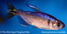 "Alestopetersius caudalis ""Yellow Congo Tetra"" Male"