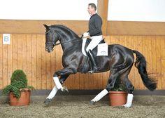 Benetton Dream, Hanoverian stallion, Superior Equine Sires: Equine Frozen Semen Import and Export